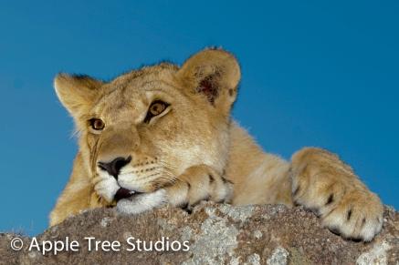 Apple Tree Studios Lions01