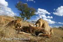 Apple Tree Studios Lions02