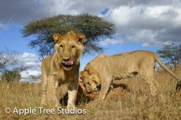 Apple Tree Studios Lions04