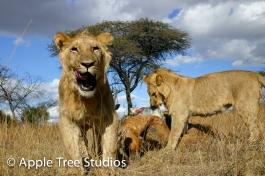 Apple Tree Studios Lions06