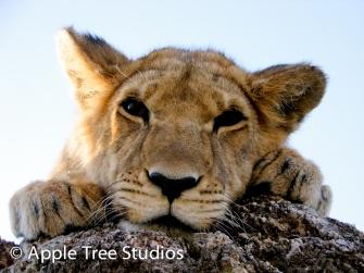 Apple Tree Studios Lions11
