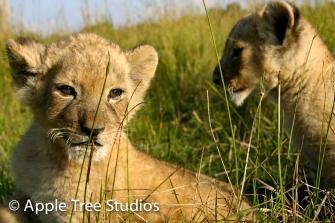 Apple Tree Studios Lions12