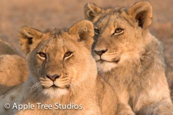 Apple Tree Studios Lions15