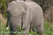 Elephants-1-4